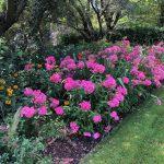 Mantenimiento de jardín para vivienda privada en La Moraleja de Madrid Macizos monovarietales 2