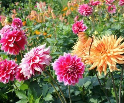 Preparando el jardín para el verano en primavera.Bulbos y Malas hierbas Dalias
