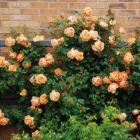 Las 10 mejores rosas. Jardineros de madrid Jardinea